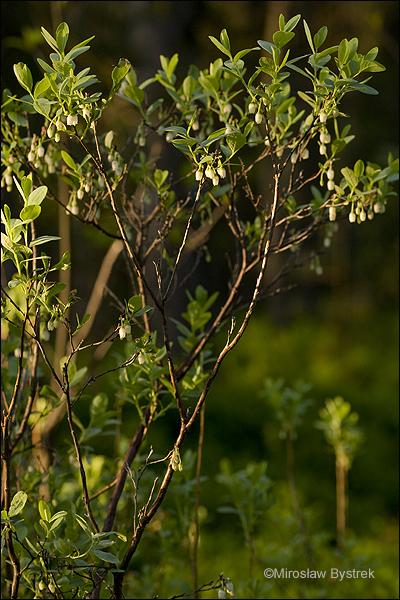 borówka bagienna kwitnący krzew