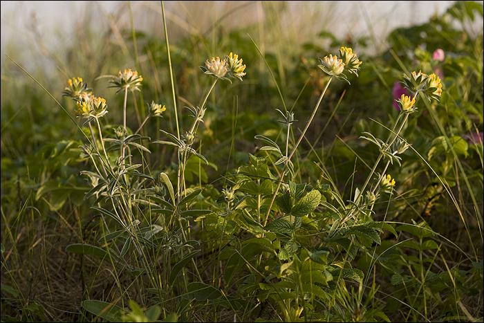 Wśród roślin wydmowych