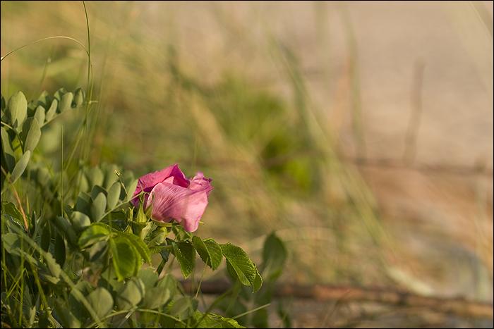 Dzika róża na wydmach